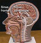 Les sinus en anatomie